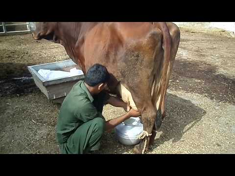 how-to-milk-a-cow-without-using-machine-||-best-hand-milking-cow-||-sabir-ali