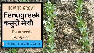 How Germinate fenugreek seeds  बिज से कसुरी मेथी उगाने का आसान तरीका
