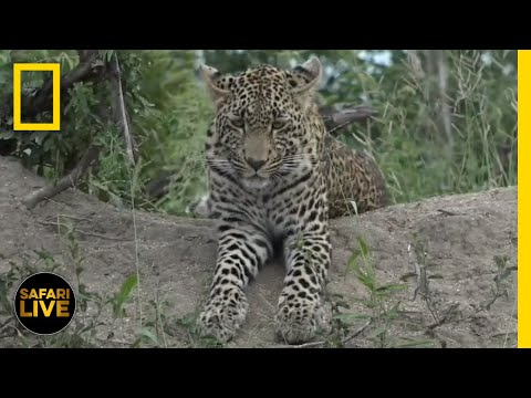 Safari Live - Day 320 | National Geographic
