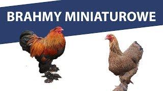 Brahmy miniaturowe brunatno faliste - stado 2019