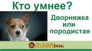 кто умнее дворняжка или породистая собака? Коро быбрать по уму? какая разница?