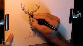 Drawing a Male White-Tailed Deer