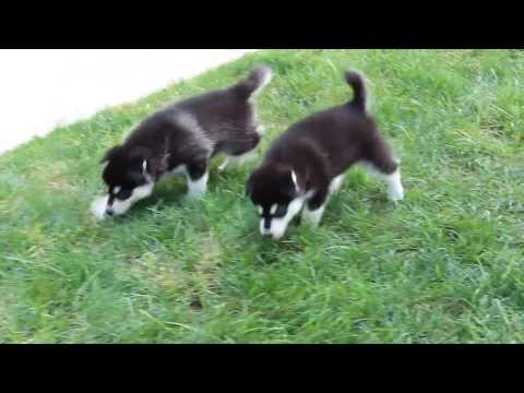 AKC Alaskan Malamute Puppies for Sale!