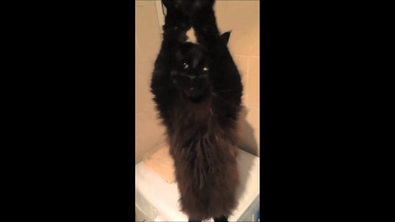 The Belly Dancing Cat