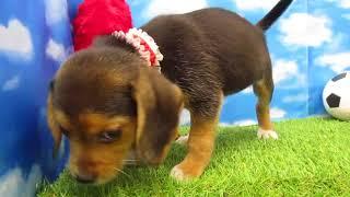 ペットショップ 犬の家 尼崎店 「78295:ビーグル」