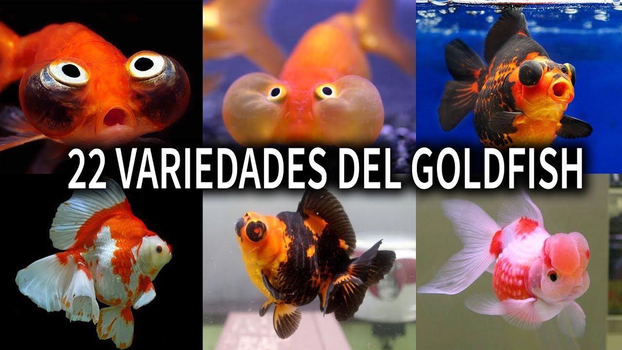 las 22 variedades del pez goldfish variedades del pez