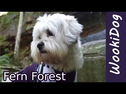 Maltese Dog walking video - Shih Tzu WookiDog Fern Forest adventure (4K)