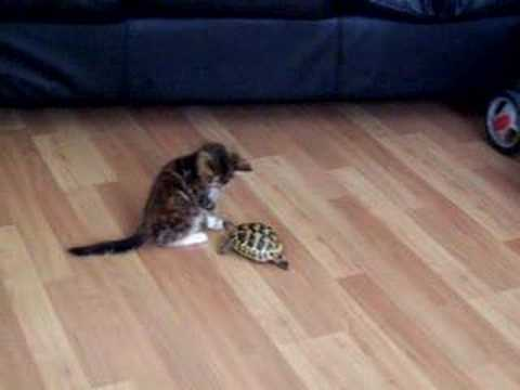 Thumbnail for Cat Video Tiny Tortoise and Tiny Kitten