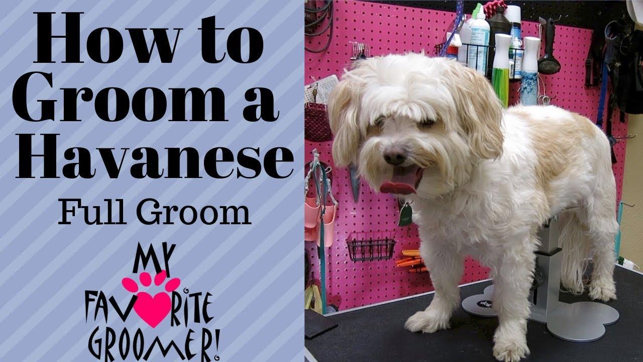 How to Groom a Havanese