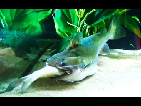 Best Top 5 Gulper Catfish Attacks | Catfish Feeding with big fish - the silent predators