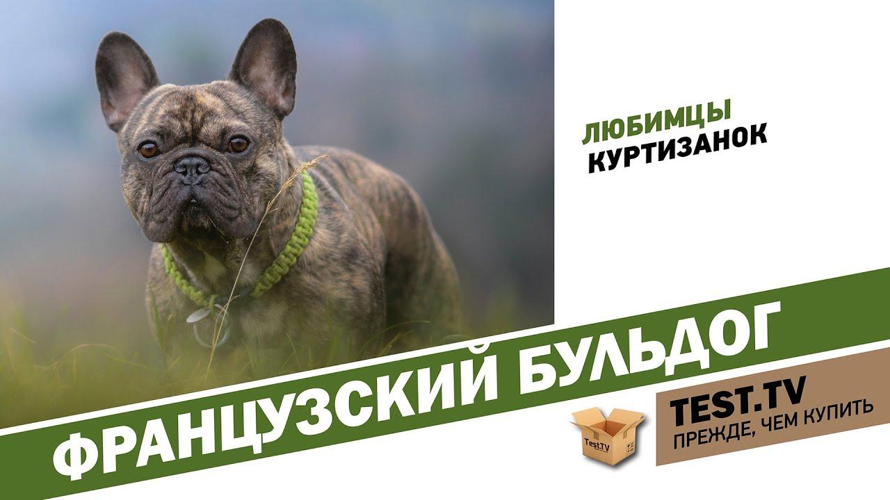 18 апр 2013. В видео рассказывается о породе английский бульдог, даются ценные советы по уходу за этой собакой согласно ее физиологическим.