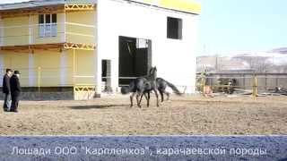 Карачаевская порода лошадей, Лошади ООО Карплемхоз - Карачаево-Черкесия