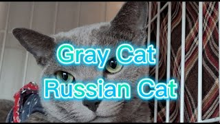 Blue Cat/Russian Cat /Gray Cat beautiful and cute