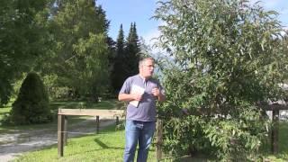Über invasive Neophyten und Buddleja - Schmetterlingsflieder