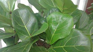 키우기쉬운   떡갈잎고…