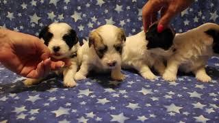 Coton de Tulear Puppies For Sale - China 10/5/21