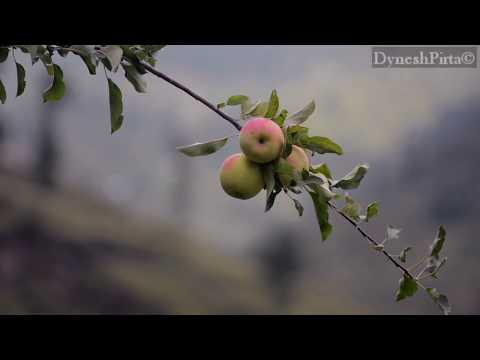 Apple harvesting In Shimla
