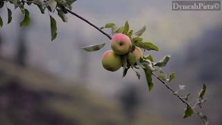 Apple harvesting In Shimla