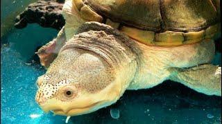 БОЛЬШАЯ ИЛОВАЯ ЧЕРЕПАХА Огромная черепаха