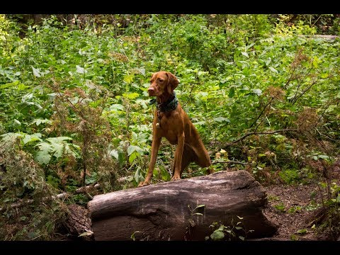How to Hike with a Vizsla - Video 91