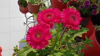 Propagation of Gerbera Plant || How to Separate Baby Plants from Gerbera