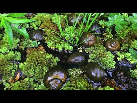 Primitive Survival - Finding Snail In The Lake | Found A Hive Of Snails