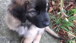 Leonberger Puppy Playing