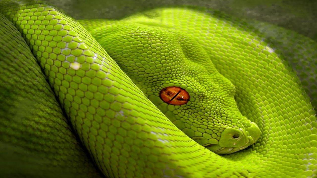 Top 10 Venomous and Deadliest Snakes - TOP 10 CLIPZ - YouTube
