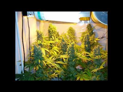 400w-hps,-250w-cfl.-alaskan-ice-big-bang-cross,-indoor-weed-sea-of-green-part-9-harvest