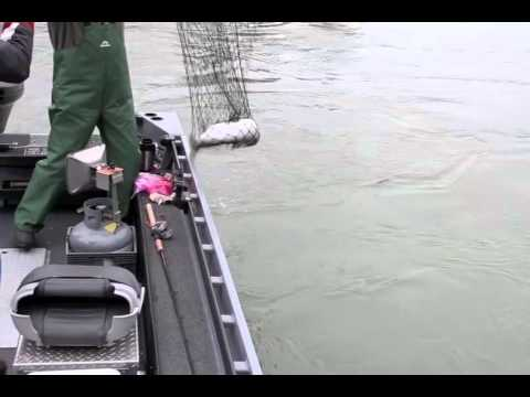 Cowlitz River March 2011 Winter Steelhead Fishing