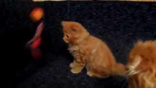 Шотландский длинношерстный котёнок (хайленд страйт)