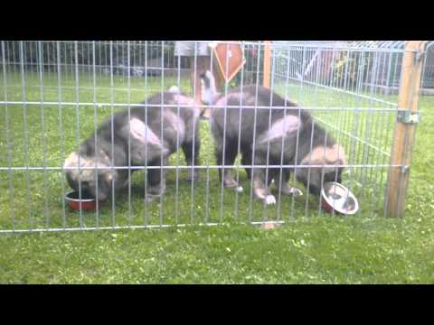 Caucasian shepherd puppies - Kennel Russian Diamond - happy meal :)