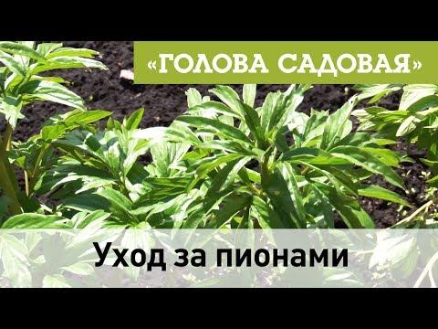 Голова садовая - Уход за пионами