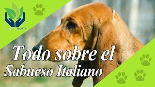 Sabueso italiano, ¿Cómo es este perro?