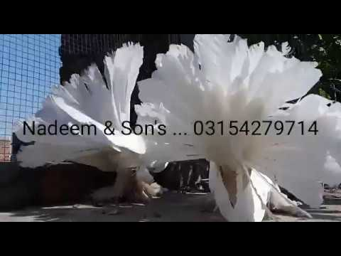 Pure White Huge sized American Fantail Pigeon For sale || Indian Fantails  for sale || fancy pigeons