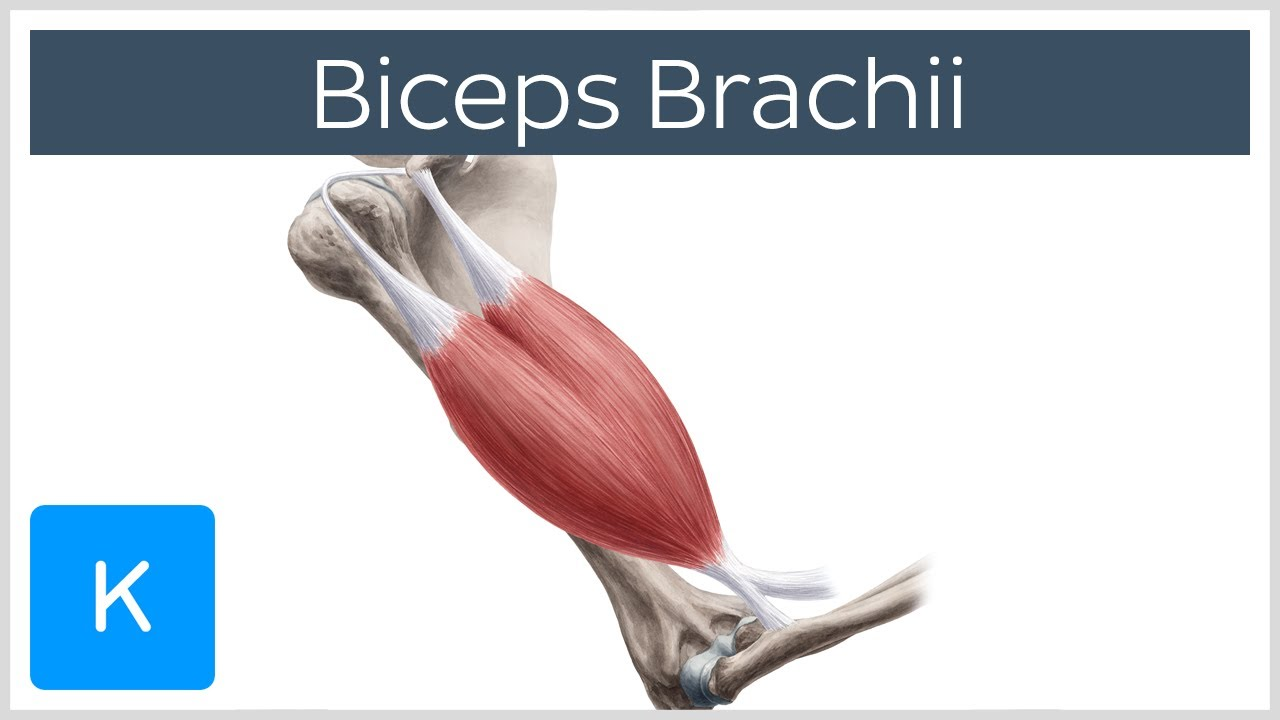 Biceps Brachii Muscle: Overview and Action - Human Anatomy | Kenhub ...