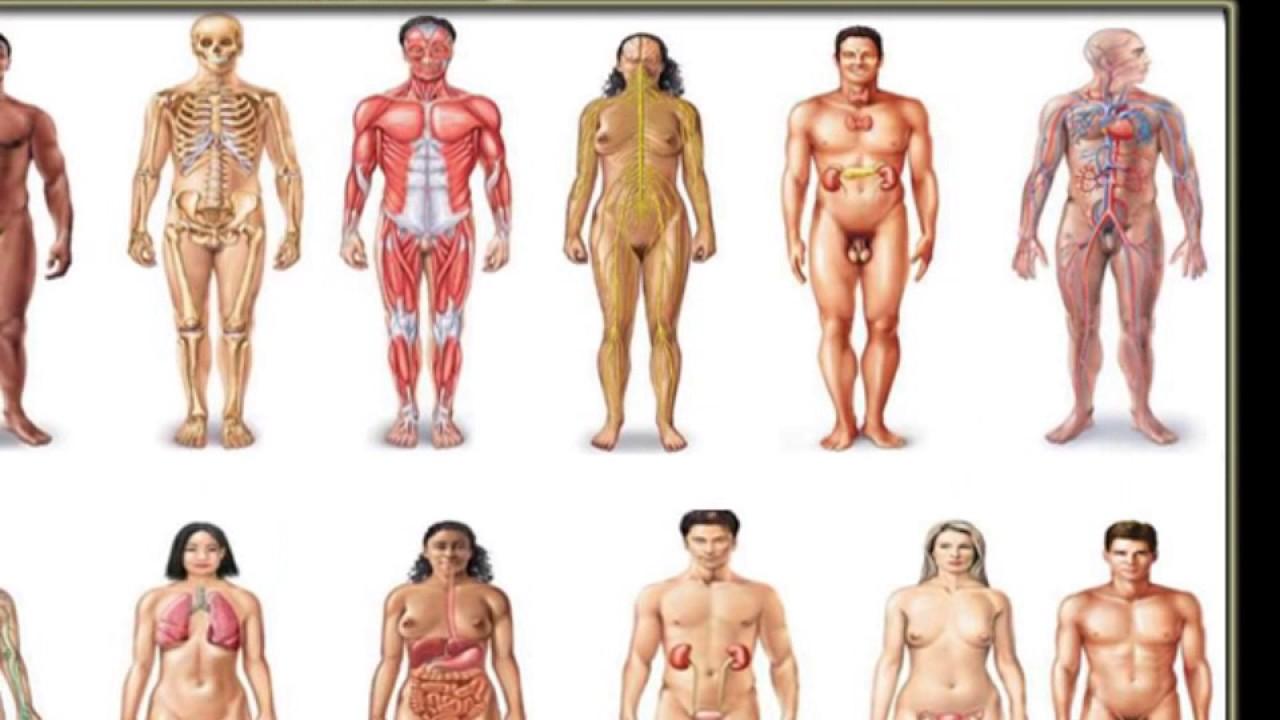 Organsysteme des Körpers, Organsysteme, Körper, Orgel, System ...