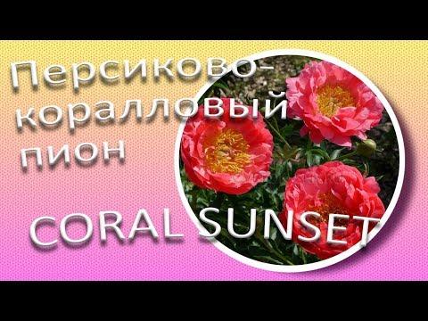 Коралловый пион CORAL SUNSET / Сад Ворошиловой