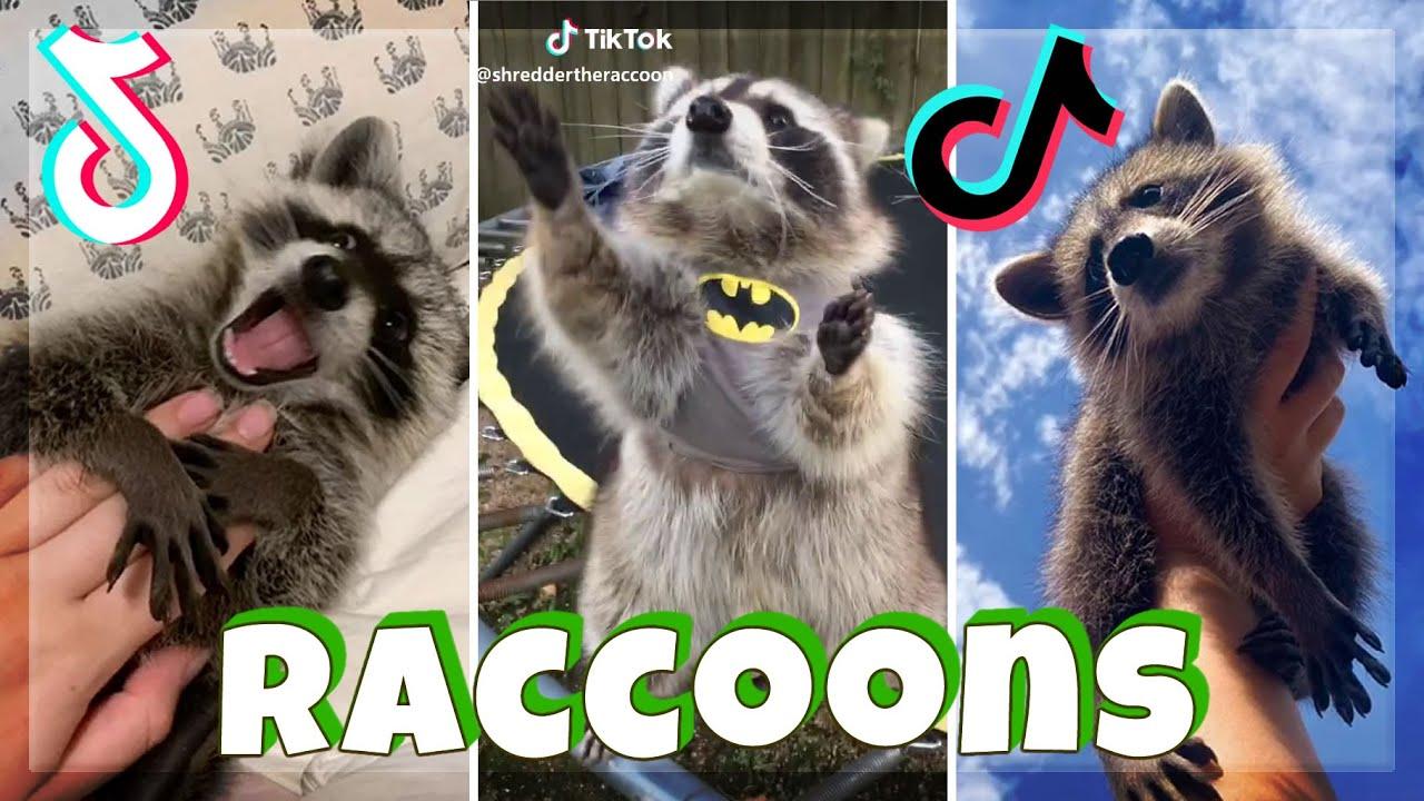 FUNNY RACCOON Videos Compilation | TikTok 2021