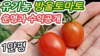 유기농 방울토마토 1만평 수익공개 운영-귀농귀촌 팁