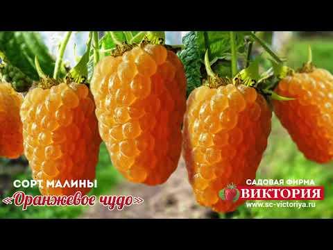 Ремонтантная малина «Оранжевое Чудо»