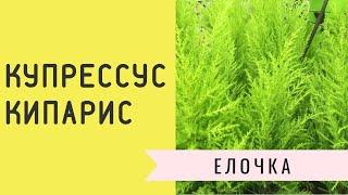 Купрессус - комнатная елочка круглый год