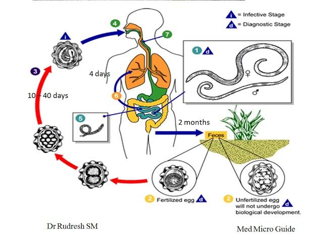 Ascaris lélegzet parazita galandféreg kezelés