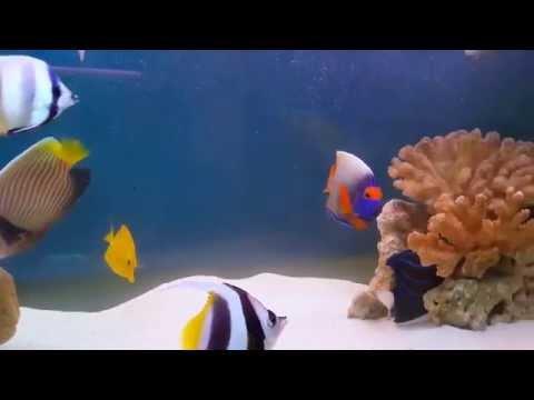 Blue Face & Blue Ring Angelfish : 220G FOWLRS Update