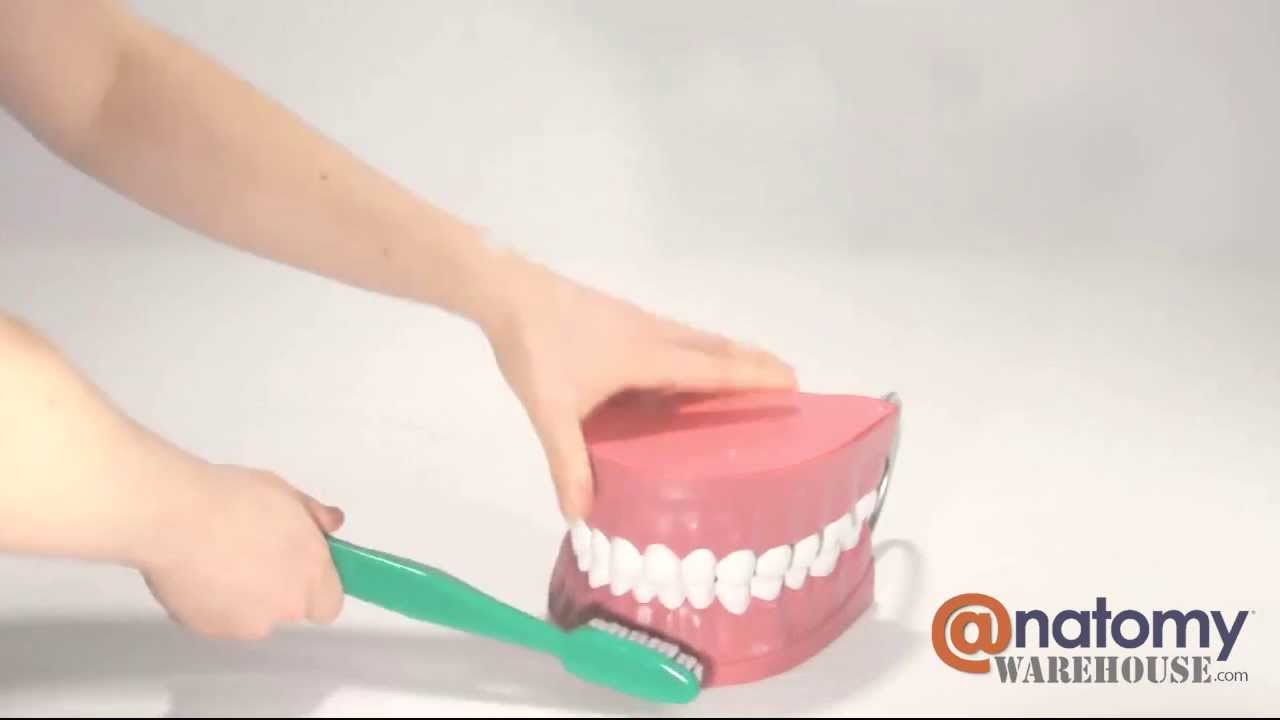 Giant Tooth Brushing Anatomy Model by AnatomyWarehouse.com - YouTube