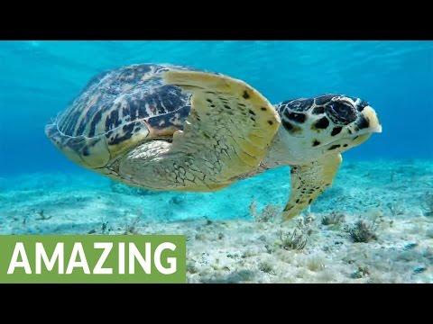 Curious sea turtle follows snorkelers for half an hour