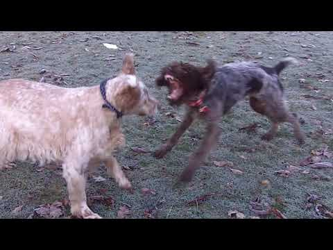 Wire Haired German Pointer Snugs & English Setter Otis playing rough.