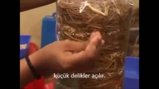 istiridye mantarı kompostu nasıl hazırlanır
