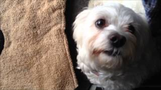 Naughty Pure Bred Maltese Puppy Dog Steals Treats