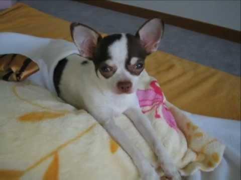 Chihuahua Kuki